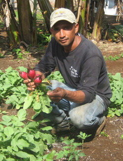 photo: harvested radishes
